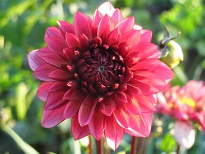 Dahlie lila (Kopie)
