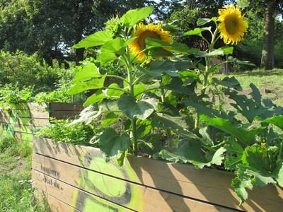 Hochbeet mit Sonnenblumen (Kopie)