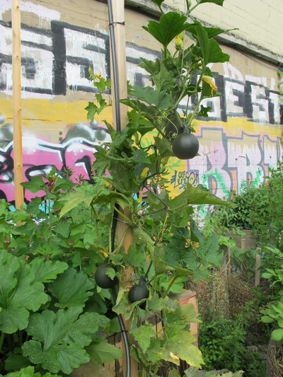 Kuerbis vor Graffiti (Kopie)