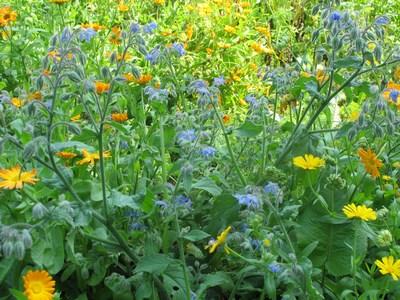 Ringelblumen und Borretsch (Kopie)