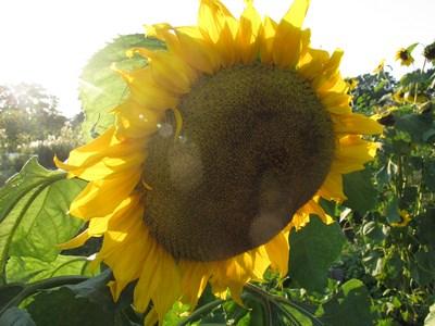 Sonnenblume (Kopie)