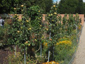 Apfelbäume in den historischen Küchengärten