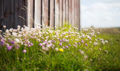 Blumenwiese vor Bretterwand